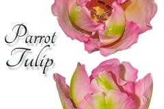 tulip-parots