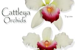 cattleya-orchids