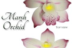 marsh orchids