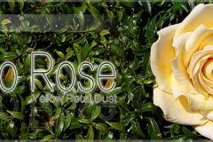 jumbo-rose